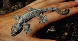 Лопастнохвостый геккон (Ptychozoon lionotum)