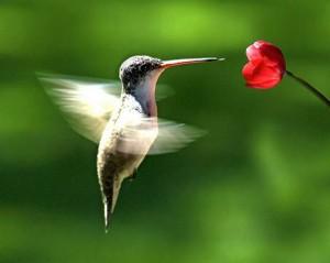 Анатомические особенности колибри