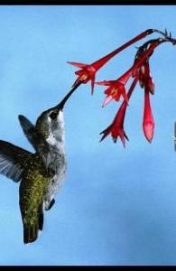 Почему колибри много едят?