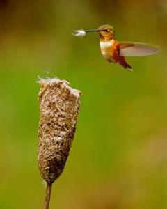 Колибри – выведение потомства