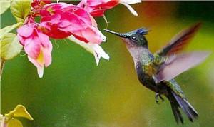 Места обитания колибри