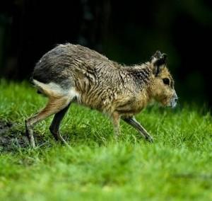 Мара – патагонский  заяц