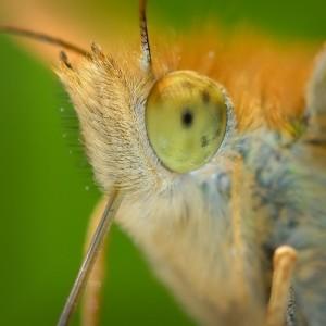 Кровососущая бабочка  - первая встреча