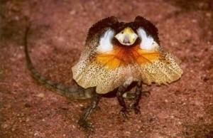 Чудо природы –ящерица в плаще