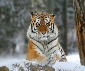 amurskij_tigr