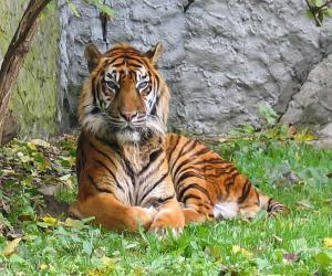 bengalskie_belye_tigry_i_skolko_ix_ostalos