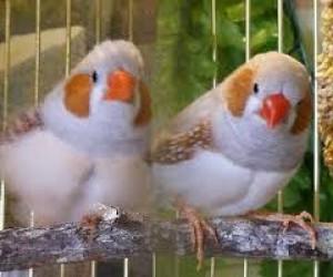 ptichki-amadiny