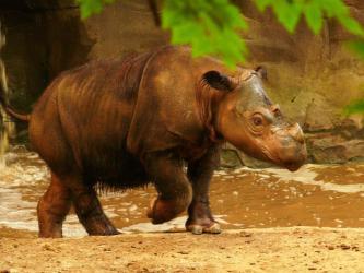sumatranskij_nosorog